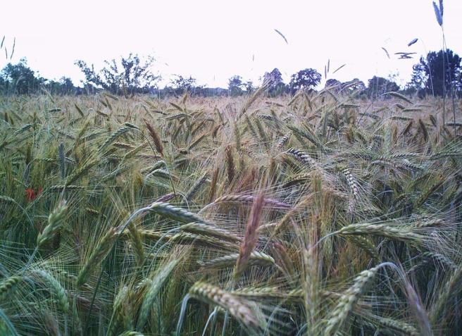 Rye crop