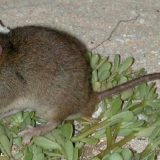 Bramble Cay rat
