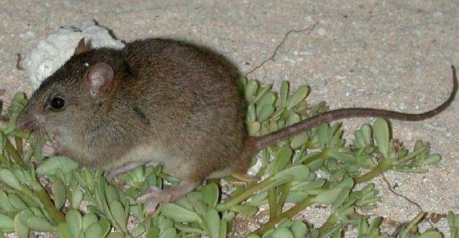 Bramble Cay rat