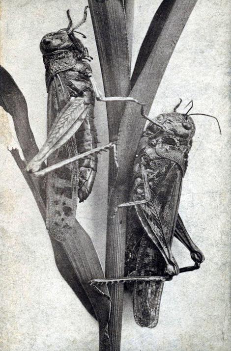 Locusts